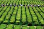 Jedyna plantacja herbaty w Europie!