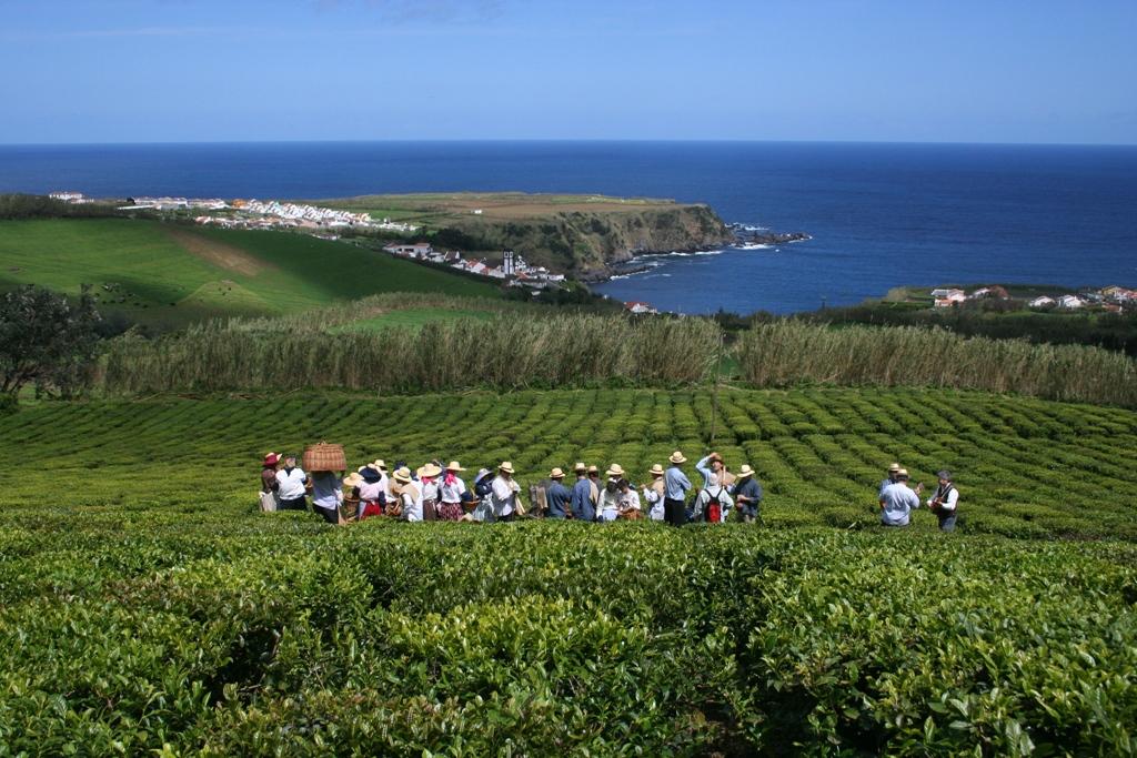 Plantacja herbaty - portugalskie Azory.